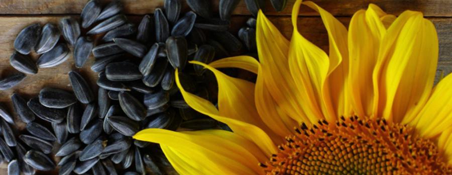 Подсолнечник лучшие почвенные гербициды для обработки до всходов и после