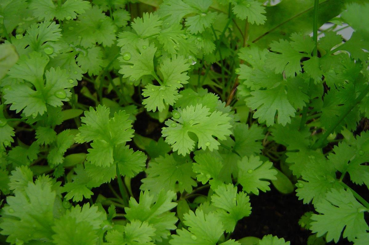 гербициды на кориандре