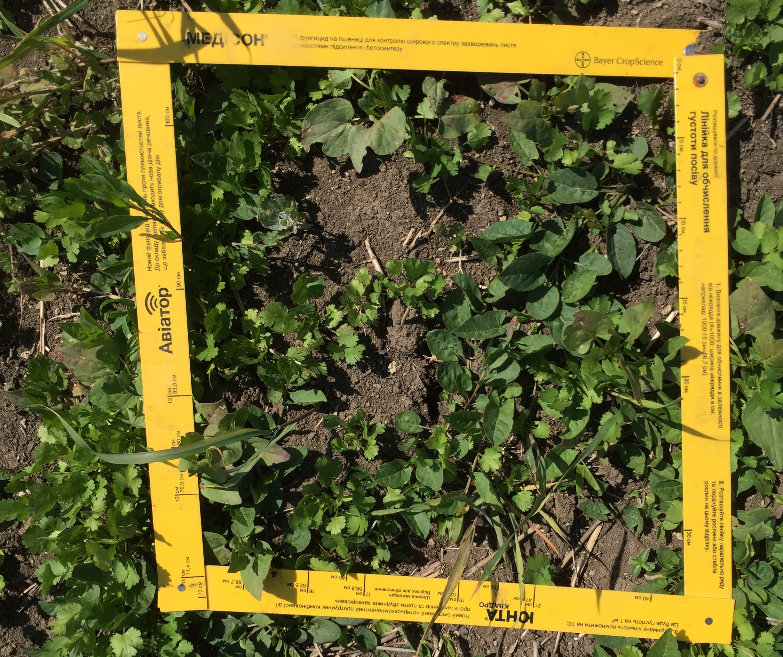 Сорняки при применении пестицидов на кориандре