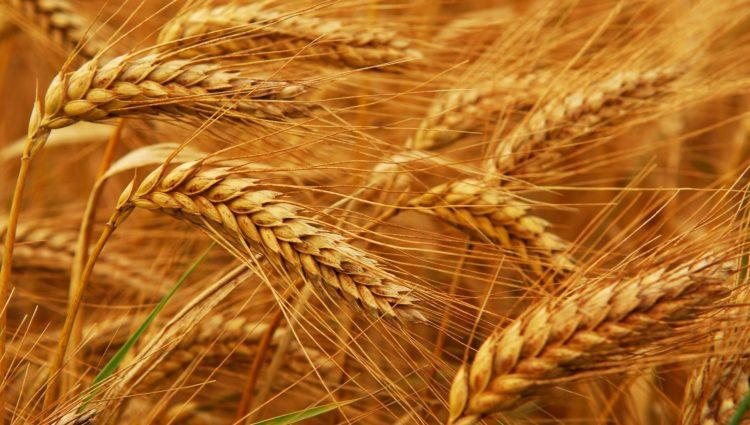 Опыт урожайности пшеницы