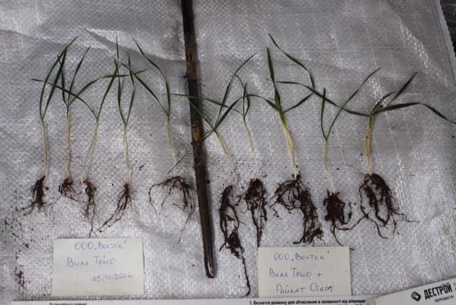 корневая система пшеницы