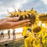 Урожайность подсолнечника - Мегасан, Белла, Кадикс и другие